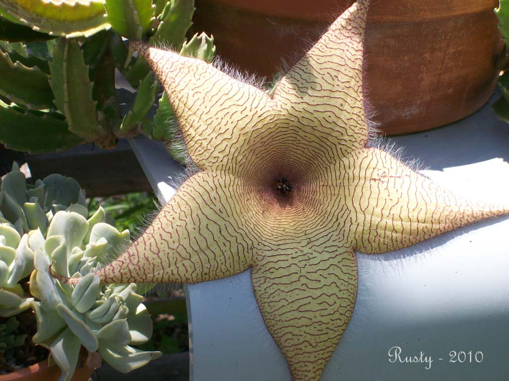 Carrion Plant flower