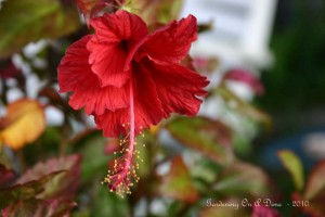 A Delicate Hibiscus