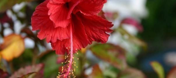 Delicate Hibiscus