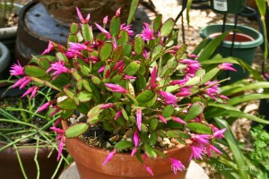 Older Christmas Cactus