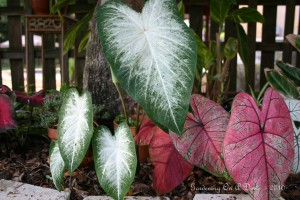 Forgotten Caladium Bulbs