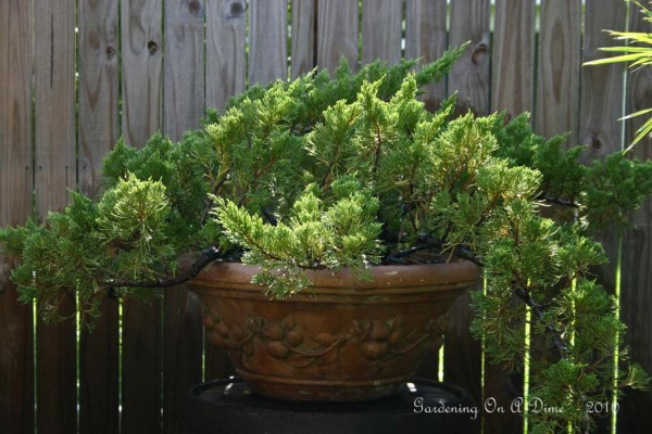 Large Blue Rug Juniper Bonsai
