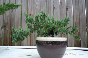 Parsons Juniper Bonsai