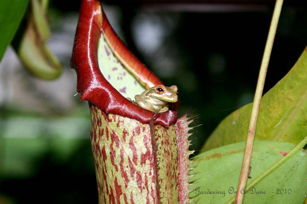 Pitcher Plant (Nepenthes) Carnivorous Plants Eating