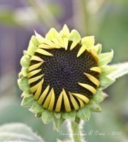 Sunflowers Opening