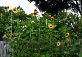 Sunflowers from a raised bed