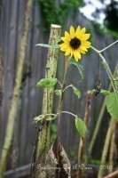 The Last Lonely Sunflower