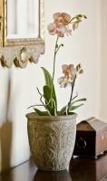 Phalaenopsis Moth Orchids