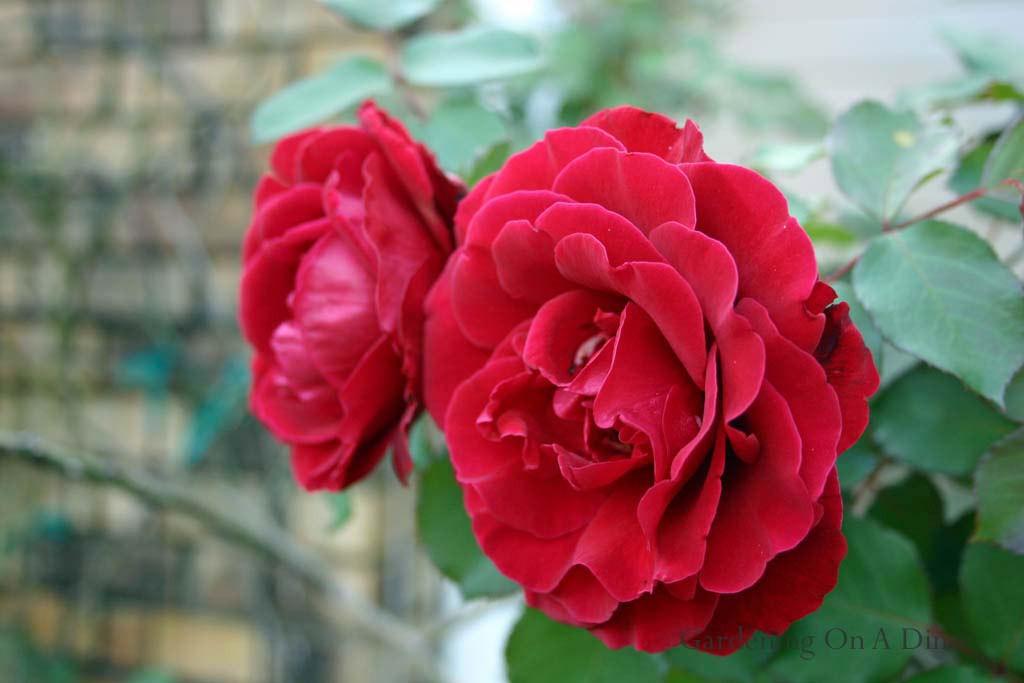 homemade organic rose food