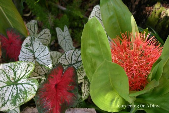 Caladiums And Blood Lily