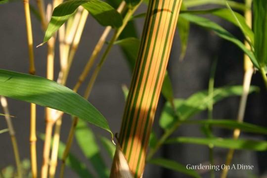 Hawaiian Gold Timber Bamboo