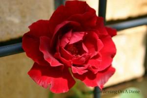 Don-Juan-Rose-Small