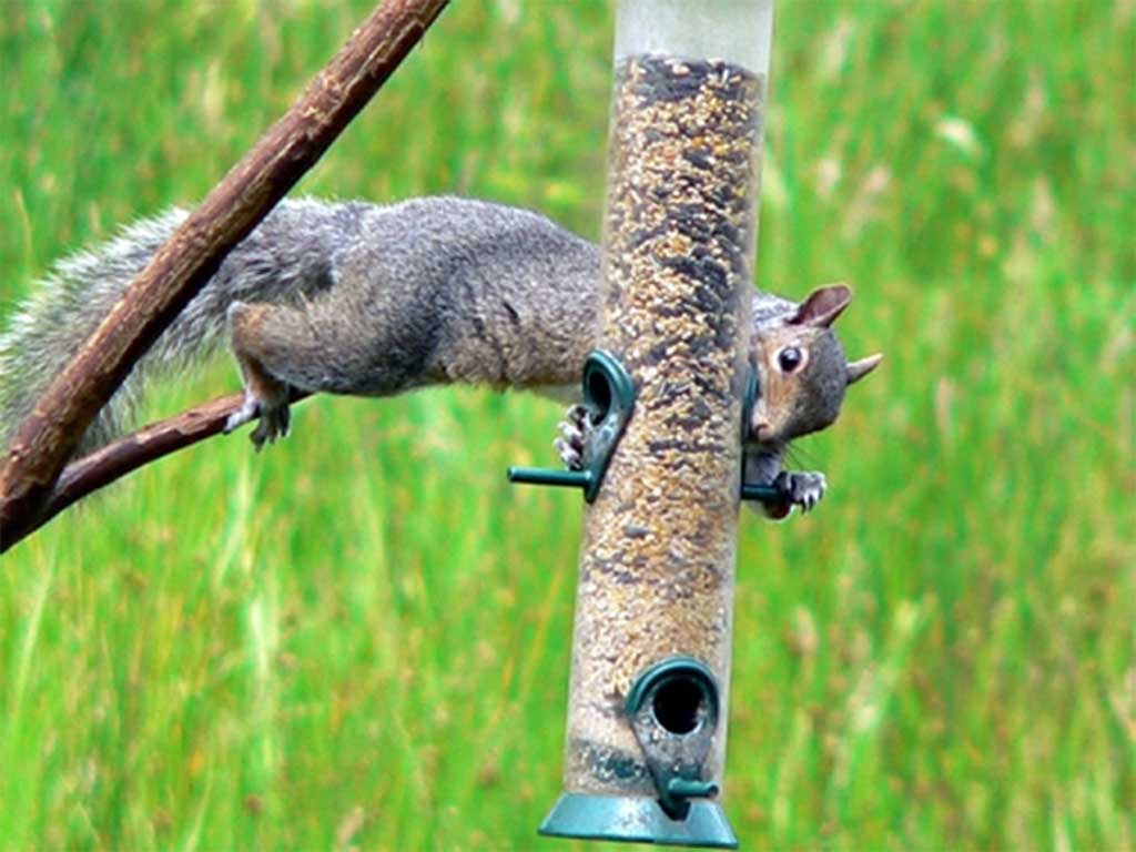 duncraft com zoom feeder squirrel baffled suet proof