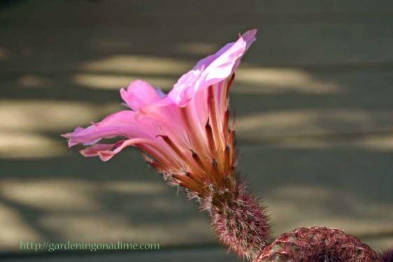 Echinocereus pectinatus rubispinus flower