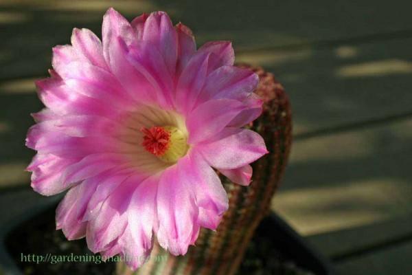 Rainbow Cactus Flower (Echinocereus pectinatus rubispinus)