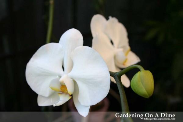 Phalaenopsis Orchid 3