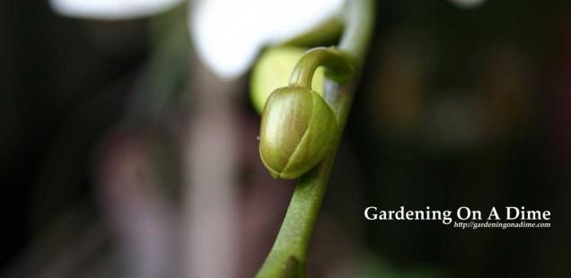 Phalaenopsis Orchid Bud