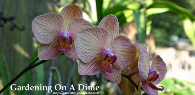 Phalaenopsis Orchids 4