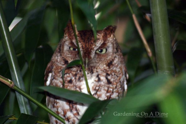 Eastern Screech Owl saying I See You