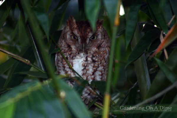 Eastern Screech Owl still staring at me