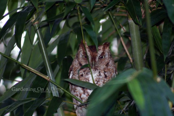 Screech Owl staring at me