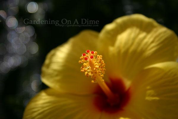 Sunny-Wind-Hibiscus-Flower