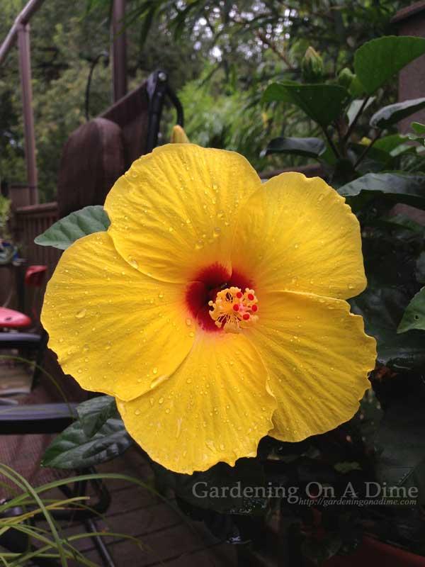 Yellow-Sunny-Wind-Hibiscus