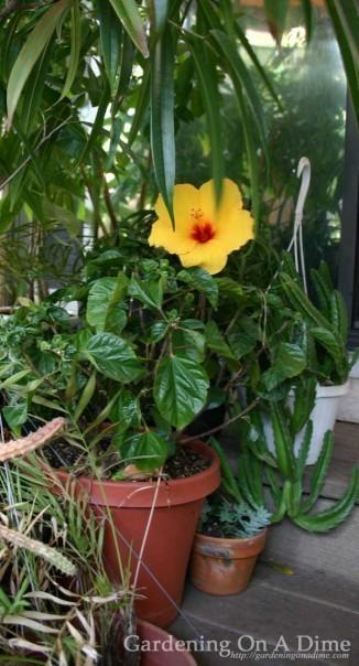 Sunny Wind Hibiscus Plant