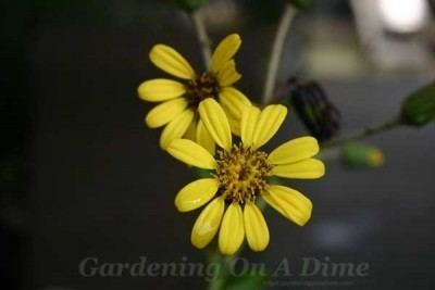 Yellow-Farfugium-Flower
