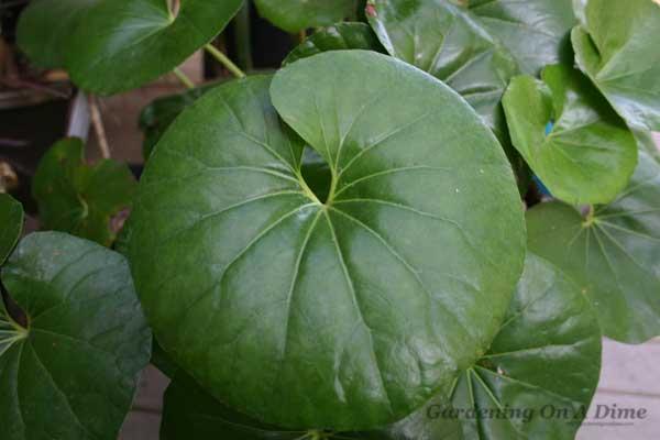 farfugium-japonicum-leaf