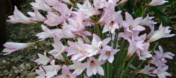 Rain Lilies, Fairy Lilies, Zephyr Lilies (Zephyranthes) 1