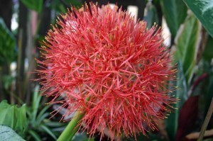 Blood Lily Closeup