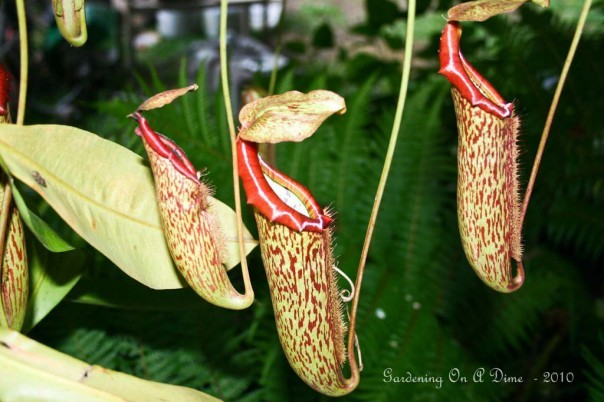 Pitcher Plant Traps
