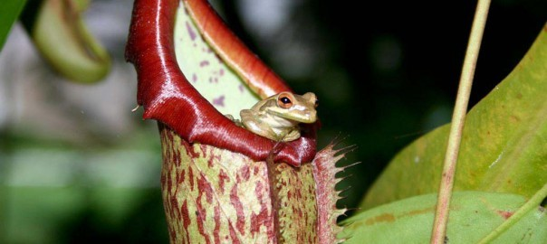 Pitcher Plant and Frog