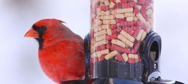 Secrets of suet: Why serving up suet helps birds weather winter 1