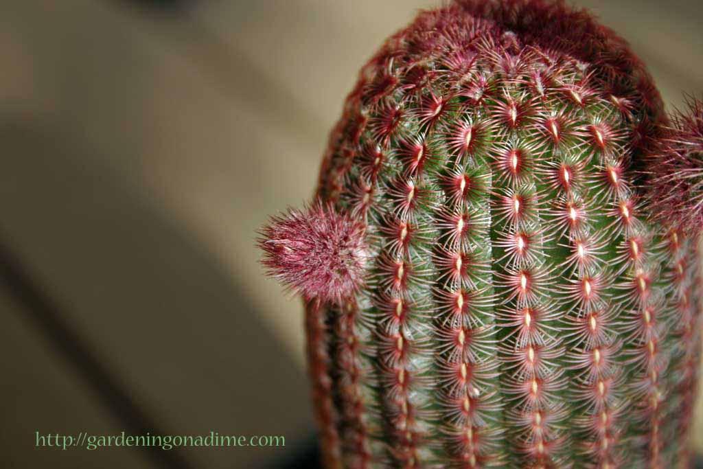 Echinocereus pectinatus rubispinus - Rainbow Cactus  1