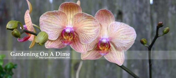 Phalaenopsis Orchids  1