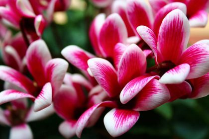 Cyclamen flowers are perfect for a low-allergen garden