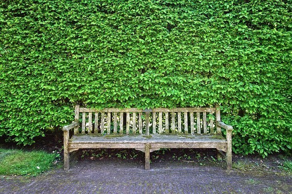 Wooden bench in front of a high hedge wall.
