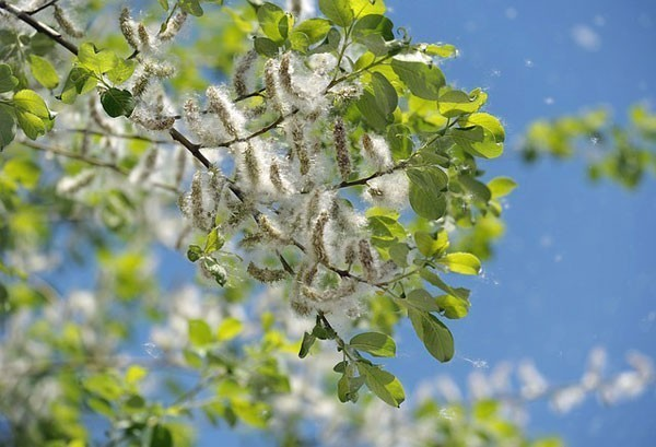 Poplar tree, its pods and flying seeds.