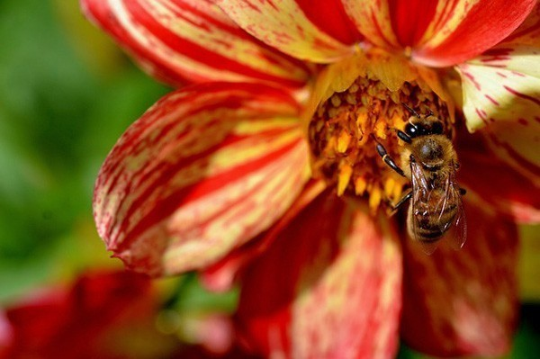 A bee pollinating a bright orange-red flower.