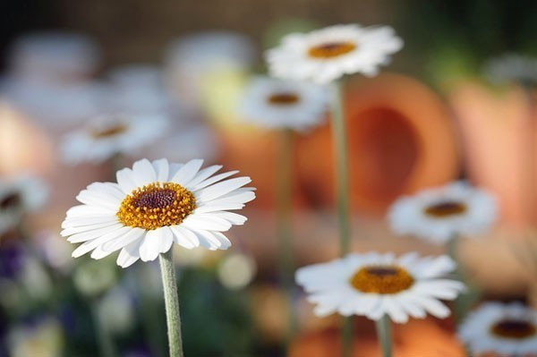 Gardening-On-A-Dime-Daisies