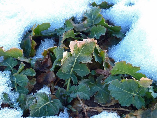 winter-Gardening-Crops-in-snow
