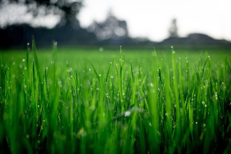 Thick grass means perfect lawn
