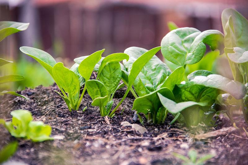 A garden bed with spinach.