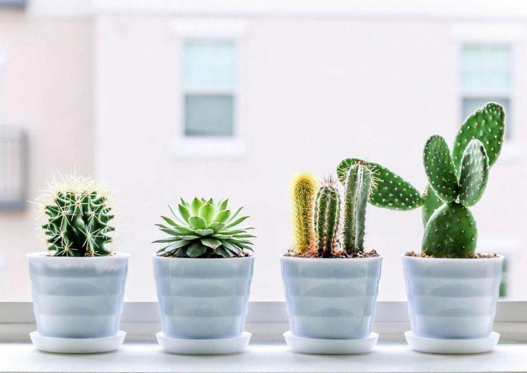 Succulent plants and cacti on the window sill.