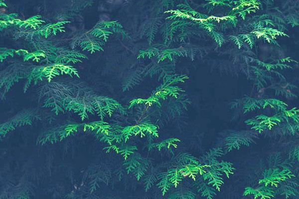 An evergreen plant in the shadow