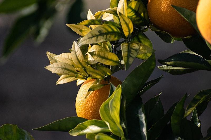 An Orange Tree.