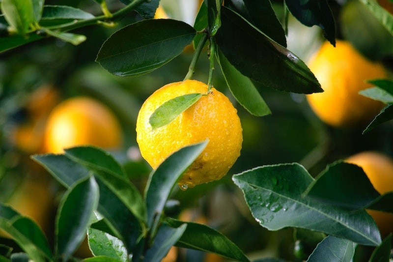 A lemon tree with leaves and drops of water.