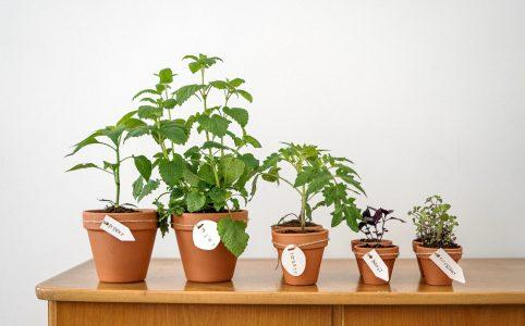 Herbs you can grow in an apartment